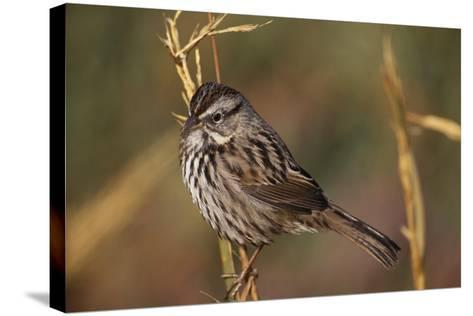 Chipping Sparrow on Twig-DLILLC-Stretched Canvas Print