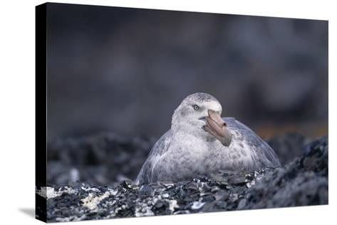Antarctic Giant Petrel on Nest-DLILLC-Stretched Canvas Print