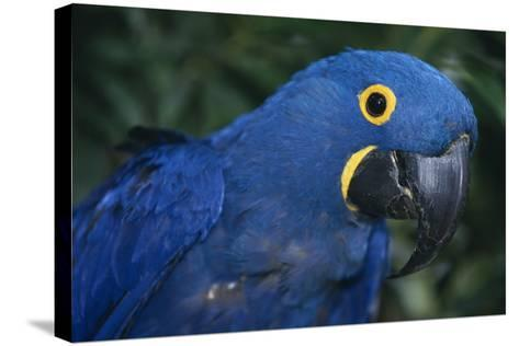 Hyacinth Macaw-DLILLC-Stretched Canvas Print