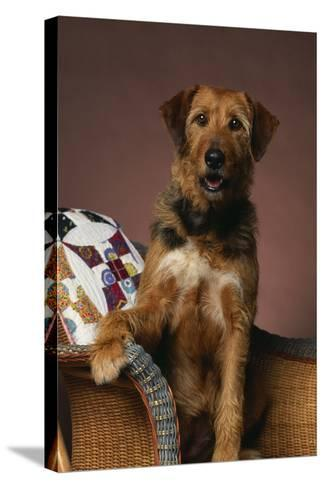 Airedale Mix Sitting on the Furniture-DLILLC-Stretched Canvas Print