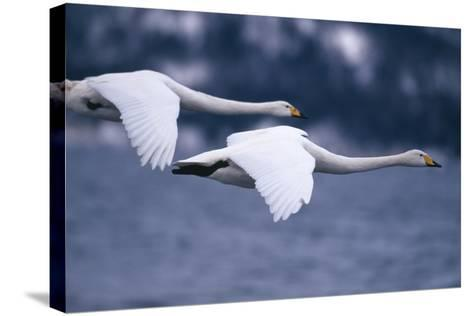 Whooper Swans Flying over Lake-DLILLC-Stretched Canvas Print
