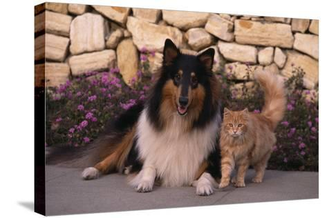 Collie and Yellow Cat on Sidewalk-DLILLC-Stretched Canvas Print