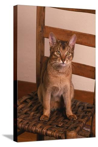 Abyssinian Ruddy Cat Sitting on Chair-DLILLC-Stretched Canvas Print