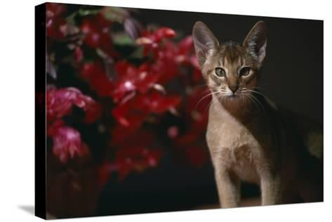 Abyssinian Ruddy Cat next to Plant-DLILLC-Stretched Canvas Print