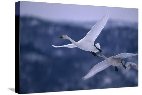 Whooper Swans Flying-DLILLC-Stretched Canvas Print