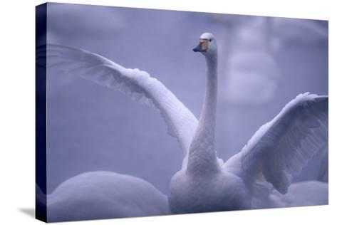 Whooper Swan Stretching Wings-DLILLC-Stretched Canvas Print