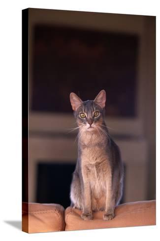Abyssinian Blue Cat Sitting on Sofa-DLILLC-Stretched Canvas Print