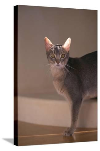 Abyssinian Blue Cat on Step-DLILLC-Stretched Canvas Print
