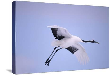 Red-Crowned Crane in Flight-DLILLC-Stretched Canvas Print