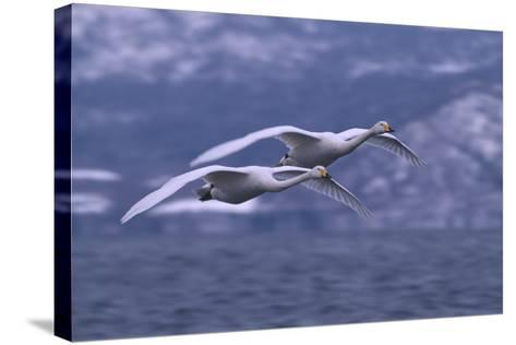 Whooper Swans Flying over Water-DLILLC-Stretched Canvas Print