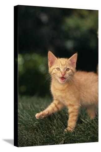 Angry Kitten in Grass-DLILLC-Stretched Canvas Print