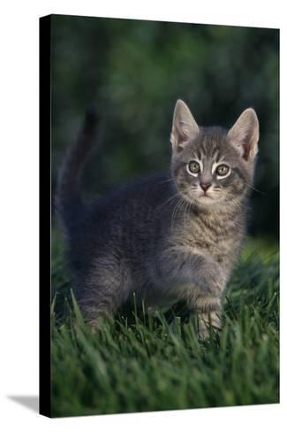Kitten-DLILLC-Stretched Canvas Print