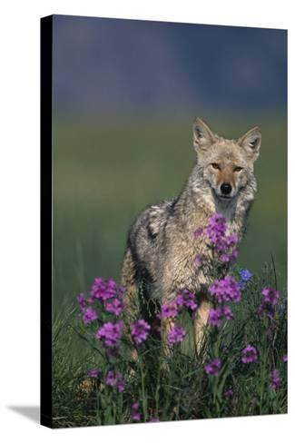 Coyote in Field with Wildflowers-DLILLC-Stretched Canvas Print