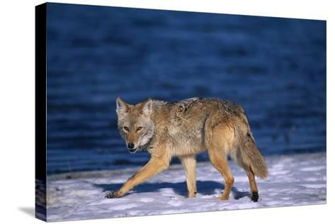 Coyote Walking in Snow next to Water-DLILLC-Stretched Canvas Print