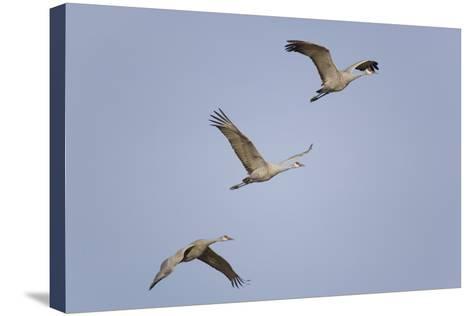 Sandhill Cranes Flying-DLILLC-Stretched Canvas Print