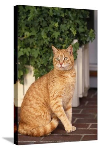 Yellow Cat Sitting on Cobblestone-DLILLC-Stretched Canvas Print