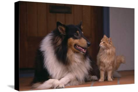 Collie and Cat Sitting on Front Step-DLILLC-Stretched Canvas Print