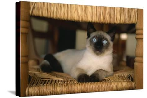 Siamese Cat on Chair-DLILLC-Stretched Canvas Print