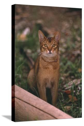 Abyssinian Ruddy Cat-DLILLC-Stretched Canvas Print