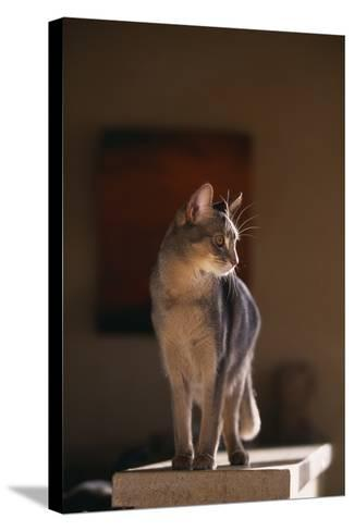 Abyssinian Blue Cat on Pedestal-DLILLC-Stretched Canvas Print
