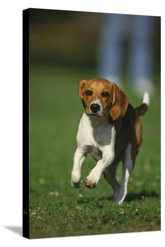 Beagle Running in Grass-DLILLC-Stretched Canvas Print
