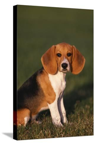 Beagle in Grass-DLILLC-Stretched Canvas Print