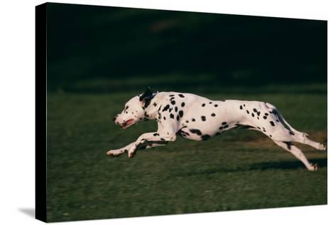 Dalmatian Running on Grass-DLILLC-Stretched Canvas Print