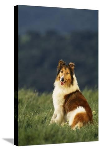 Collie Sitting in a Meadow-DLILLC-Stretched Canvas Print