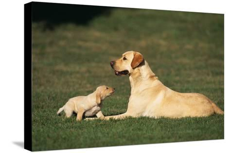 Labrador Mother and Puppy-DLILLC-Stretched Canvas Print