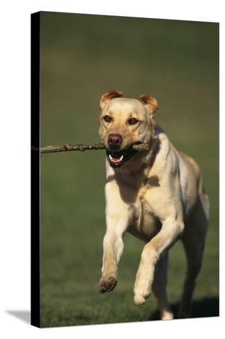 Yellow Lab Running with Stick-DLILLC-Stretched Canvas Print