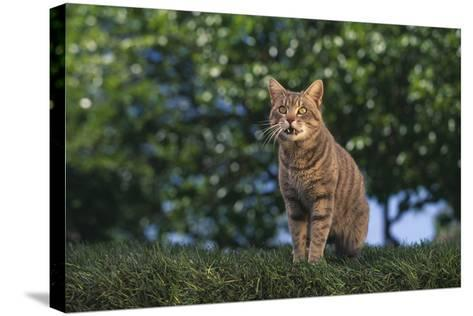 Tabby Cat on Grass-DLILLC-Stretched Canvas Print