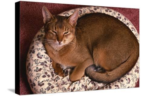 Abyssinian Ruddy Cat Lying on Cushion-DLILLC-Stretched Canvas Print