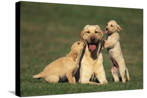 Yellow Lab Mother and Puppies-DLILLC-Stretched Canvas Print
