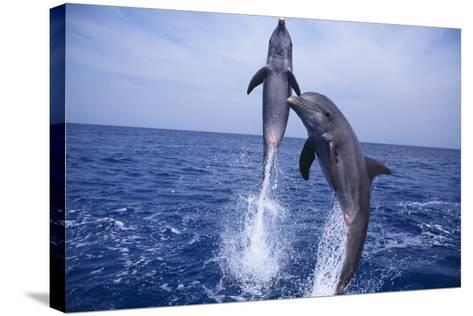 Bottlenosed Dolphins Leaping from Water-DLILLC-Stretched Canvas Print