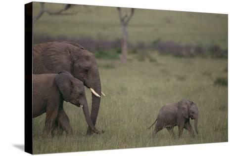 Baby Elephant Taking the Lead-DLILLC-Stretched Canvas Print