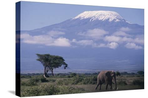 Adult Elephant-DLILLC-Stretched Canvas Print
