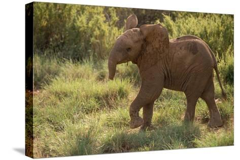 Baby Elephant Flaring its Ears-DLILLC-Stretched Canvas Print