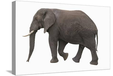 Indian Elephant Walking-DLILLC-Stretched Canvas Print