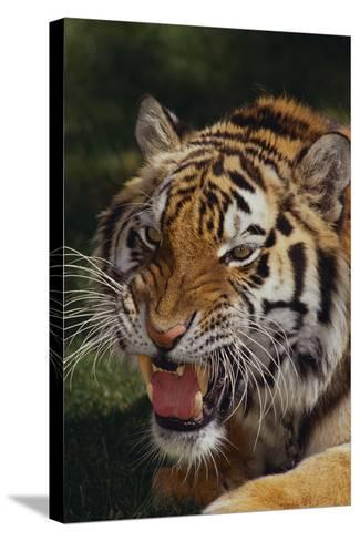 Bengal Tiger Snarling-DLILLC-Stretched Canvas Print