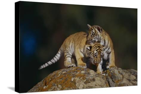 Bengal Tiger Cubs on Rocks-DLILLC-Stretched Canvas Print