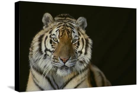 Bengal Tiger-DLILLC-Stretched Canvas Print