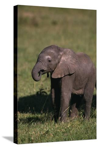 Baby Elephant Curling up its Trunk-DLILLC-Stretched Canvas Print