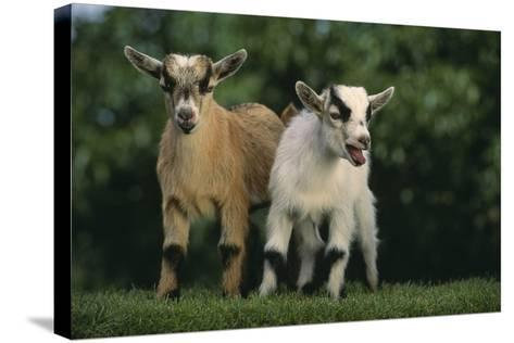 Two Pygmy Goats-DLILLC-Stretched Canvas Print