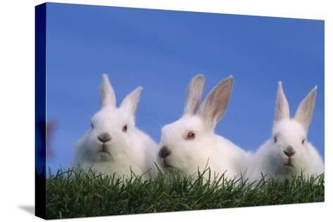 Domestic Rabbits in Grass-DLILLC-Stretched Canvas Print