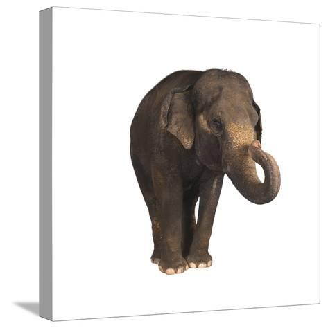 Indian Elephant-DLILLC-Stretched Canvas Print