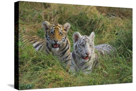 Bengal Tiger Cubs in Grass-DLILLC-Stretched Canvas Print