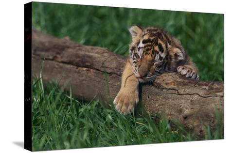 Bengal Tiger Cub Asleep on Fallen Tree-DLILLC-Stretched Canvas Print