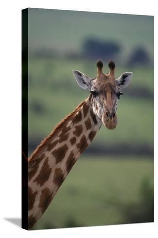 Reticulated Giraffe-DLILLC-Stretched Canvas Print