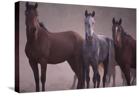 Quarter Horses-DLILLC-Stretched Canvas Print