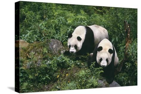 Giant Pandas Walking in Forest-DLILLC-Stretched Canvas Print